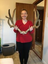 Big Large Mule Deer Rack Thick Horns ! Non Typical Antlers ! Xtra Points !