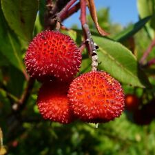 "5 Strawberry Tree Cuttings - ""Arbutus Unedo"" (Portugal) Bonsai"