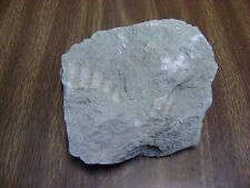 Rock Sandstone with Multiple FOSSIL Shells Clamshells - 2.2 lbs