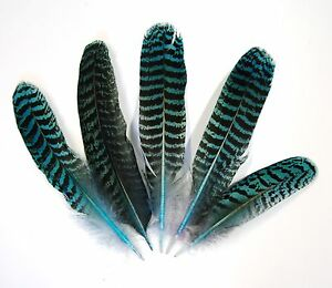 "5 Pcs PEACOCK QUILLS 6""-10"" Dyed TURQUOISE Feathers; Costume/Bridal/Halloween"