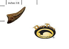 Gorgosaurus Digit 1 Claw  - Cast Replica, Dinosaur Claw (SN40)