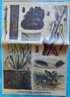 XIX Ancienne Gravure Insectes Nuisibles Destructeurs des Fourrures Nymphe Larve