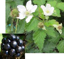 300 Samen Brombeere (Rubus fruticosus), Blackberry, leckere Früchte, winterhart
