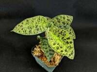 Rare Jewel Orchid Macodes Petola, Great Terrarium Plant