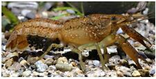 Self Cloning Marmorkreb Crayfish - small species aquarium fish reproduce singly