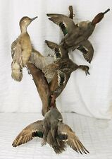4 Mounted Green Winged Teal Ducks Stuffed Taxidermy in Flight Drift Wood Birds