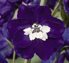Delphinium-Magia Fuentes Azul Oscuro Con Blanco Bee - 50 Semillas