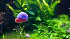15+ Red Ramshorn Snails, Aquarium or Pond, Algae Eater Shipped Daily!