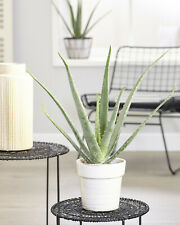 Aloe Vera Soothing Indoor Succulent House Plant In 12cm Pot