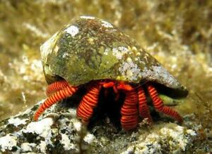 Halloween Hermit Crab - Marine Clean Up Crew - @ BARGAIN PRICE!!!