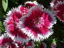 sweet william, Biennial/Perennial flower, 375 seeds! GroCo
