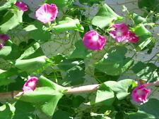 40 Pink Morning Glory Seeds Ipomoea