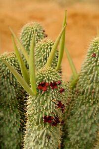 Hoodia Pilifera -South Africa Guaap - Rare Cactus Plant - 5 seeds
