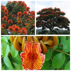 20Pc Spathodea campanulata Tree Seeds African Tulip Tree Beautiful Garden Plants