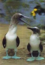 3 -D - Ansichtskarte: Blaufusstölpel - Blue-footed Boobies - Galápagos Inseln