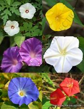 Morning Glory Mix, rare climber flowering vine ipomoea merremia seed -20 seedS
