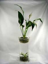 Java Fern Lace & Peace Lily Fresh water Aquarium and Terrarium with Live Plants