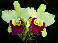 ORCHIDEE  CATTLEYA   Pratum Green   J 4-8