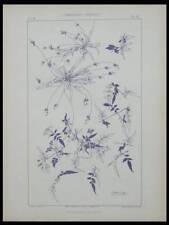 PLANTAIN CLEMATITE, HABERT DYS -1896- LITHOGRAPHIE, ART NOUVEAU, FLEURS