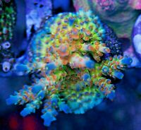 SC Orange Passion Sexy Corals Acro Acropora Frag Rare Live Coral SPS