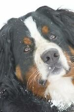 Cool Bernese Mountain Dog in the Snow Journal : A Blank Lined Journal for...