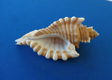 Coquillage : Cymatium femorale, Martinique - 110 mm