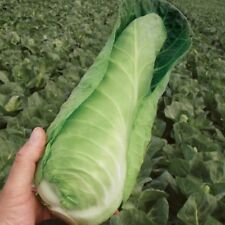 Cabbage - Dutchman - 50 Seeds