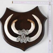 Wildschwein Keilerwaffen Trophäe Gewaff Hauer Länge 20,3 cm