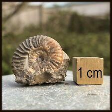 Ludwigia cf Cosmia Ammonite Fossil - found in Skye, Scotland - Jurassic - FSE102