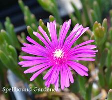 Delosperma cooperi Hardy Ice Plant Live Plant