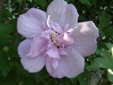 12 cuttings to root graft Double Rose of Sharon Hibiscus syriacus flowering bush