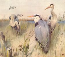 """HERONS. """"Waiting for the Ebb Tide"""" by WINIFRED AUSTEN 1935 old vintage print"""