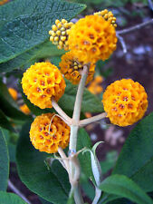 10 ORANGE BALL TREE / GOLDEN BUTTERFLY BUSH Buddleja Globosa Shrub Flower Seeds