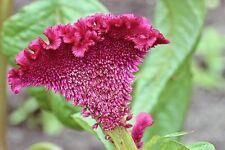 100 CORAL GARDENS MIX COCKSCOMB CELOSIA Flower Seeds