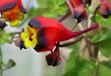 Tropaeolum tricolor seeds rare - graines capucine tricolore garden fleur flower