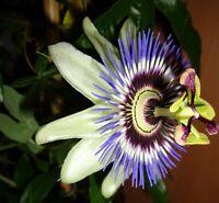 1 Pflanze Passiflora / Passionsblume Caeruela winterhart