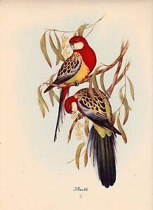 John Gould Native Animals Birds print tree parrot painting Vintage art Australia