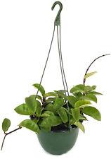 """Hoya carnosa """"Krinkle 8"""" - Porzellanblume - pflegeleichte Zimmerpflanze"""