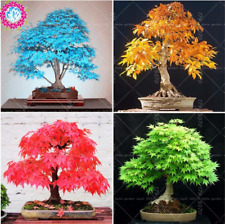 Japanese Bonsai Maple Tree 10 Pcs Seeds Mini Plants Garden Free Shipping New X B