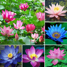 10Pcs Bonsai Lotus Water Lily Flower Bowl Pond Fresh Perfume Blue Lotus Seeds H