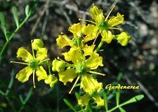 50 Graines Herbe-de-Grâce , Common Rue  ,Ruta graveolens seeds