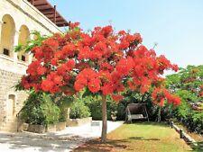 10 ROYAL POINCIANA TREE Delonix Regia aka Red Flame Flamboyant Tree Flower Seeds