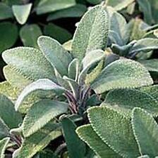 Herb Seeds - Sage Spanish - 75 Seeds