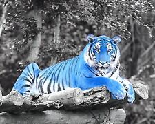 Blue Gray Wall Art Tiger Decorative Photo Print Wildcat Home Decor Picture & Mat