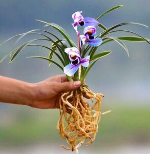 Cymbidium Orchid Plants Live-Purple Flower-Purple Moon-1 Plant (3 Stems)