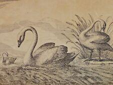 Francis BARLOW (1626-1702) - Kupferstich: SCHWAN / SCHWÄNE MIT JUNGEN