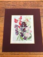 "1905 mounted colour print  "" beautiful sweet peas """