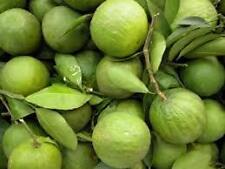 Citron-narthangai live plant