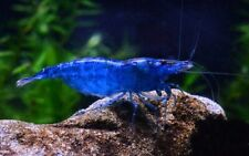 10 (ten) x Blue Dream Shrimps (Neocaridina cf. davidi)