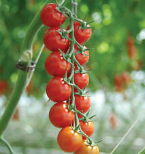 Piccolo Cherry Tomato Sweet & Juicy 50-Seeds UP To 6 kg-One PlantUK SELLER*
